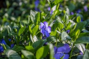 Цветы Феодосии #12140