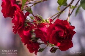 Цветы Феодосии #12141