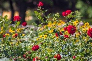 Розы в Феодосии #12145