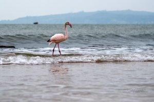 Фото фламинго в Феодосии #7406