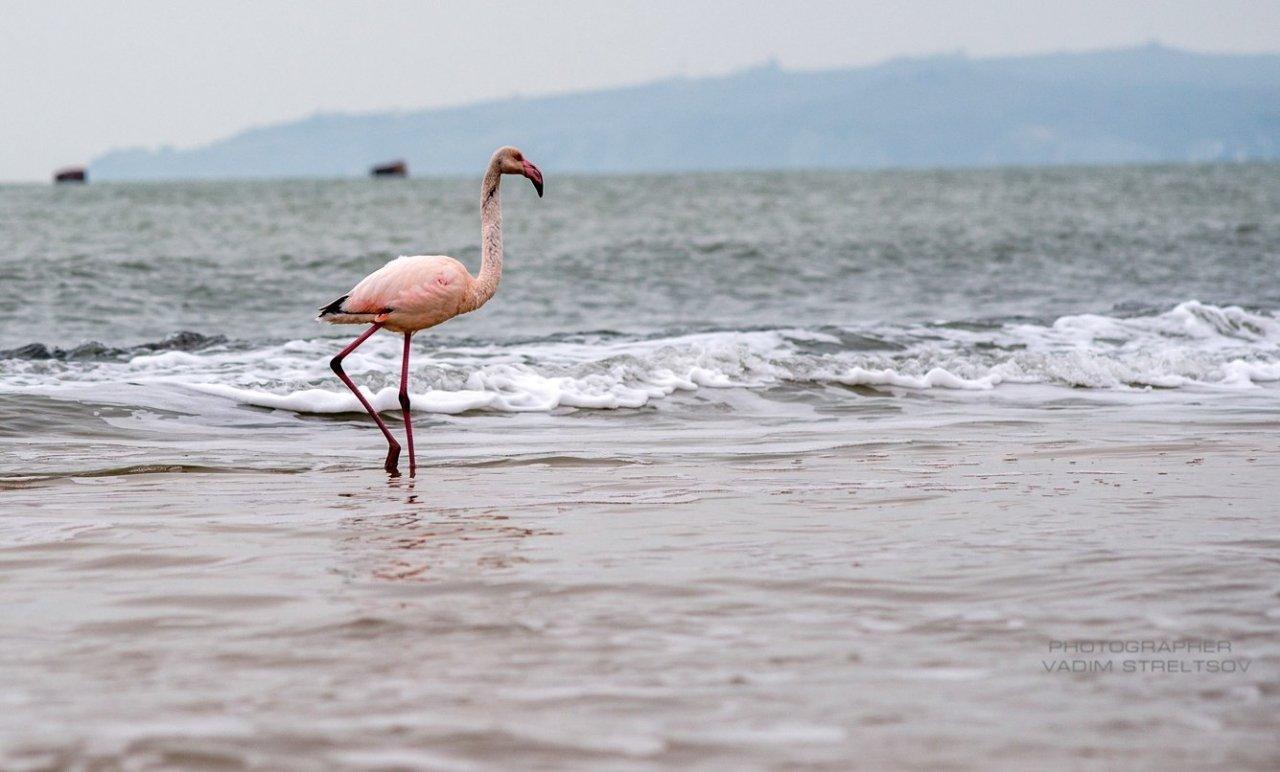 Фото фламинго в Феодосии #7413