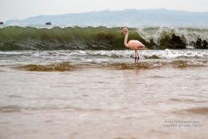 Фото фламинго в Феодосии #7404