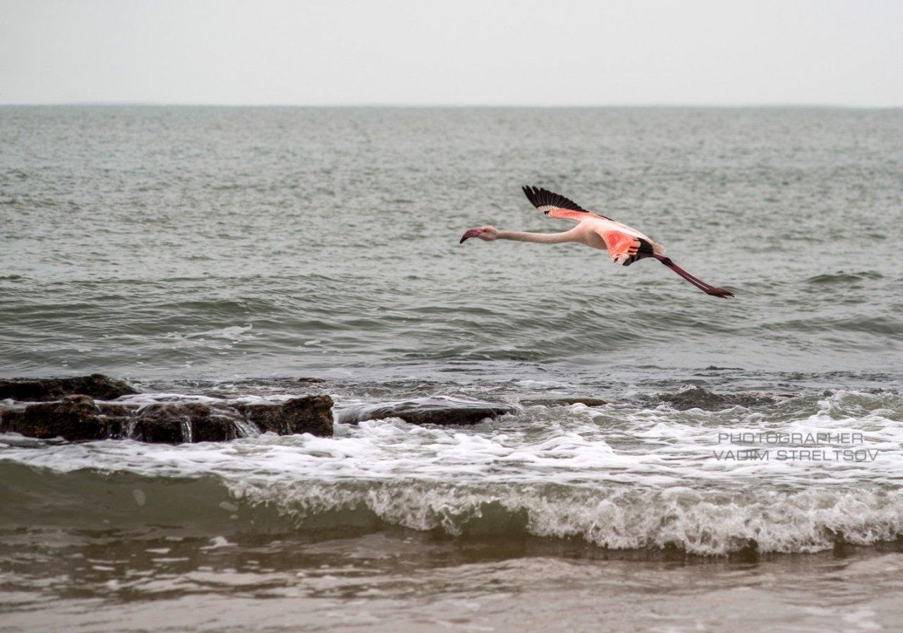 Фото фламинго в Феодосии #7409