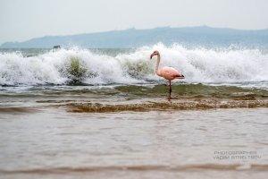 Фото фламинго в Феодосии #7405