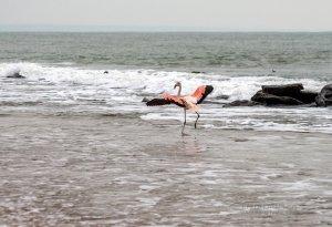 Фото фламинго в Феодосии #7415