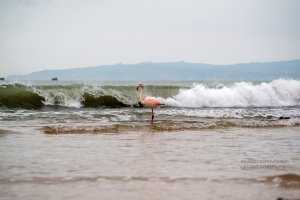 Фото фламинго в Феодосии #7410