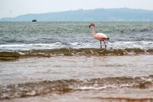 Фото фламинго в Феодосии #7408